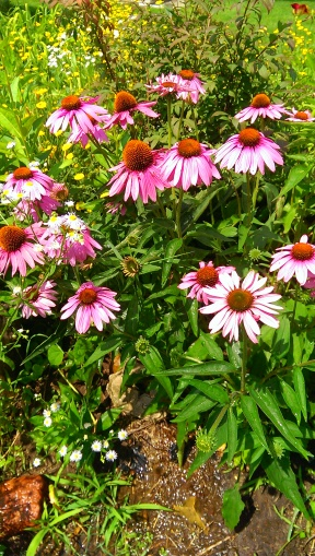 Coneflowers; Photo by J.H Johann, Palmyra Perennial Garden, c. July, 2014.