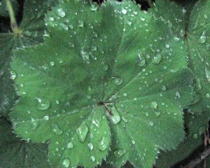 """Lady's Mantle""  Photo Credit: Bobbi; 2014"