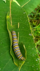 Monarch caterpillar. Photo Credit: C. Jane H. Johann, August, 2015; Palmyra, WI.