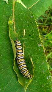 Monarch caterpillar. Photo Credit: C. Jane H. Johann, August, 2015; Palmyra, WI.