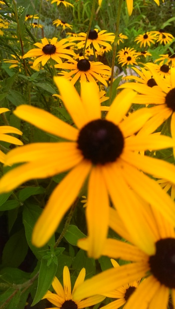 Black-eyed Susan Perennial Garden; Photo Credit: Jane H. Johann; August, 2015, Palmyra, WI.