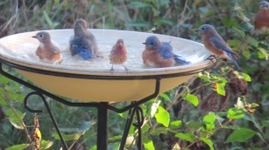 """Bathing Bluebirds"" by Photographer, B. Bennett. Whitewater, WI c.2014. Used with Permission of Photographer."