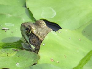 """Green Frog on the Lily Pad"" Photographer Judy Mayer; Stoughton, WI. c.2014. Used with Permission."