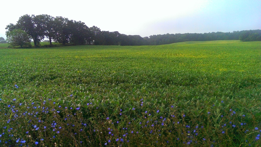 """Spiderwort Countryside""near Palmyra, WI Photo Credit: Jane. H. Johann, Aug., 2015."