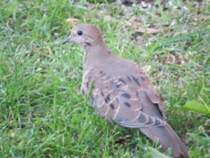 """Wisconsin Mourning Dove"" Photo Credit: c. Judy Mayer, September, 2015 USED WITH PERMISSION"