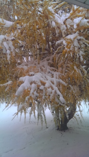 Japanese Yew Tree. Its green needles change to orange just before they fall from the tree during the winter season. Then the branches and twigs rest for awhile before regaining their beautiful, soft green needles in the Spring. Photo Credit: c. Jane H. Johann 11/21/2015 Palmyra, WI USA