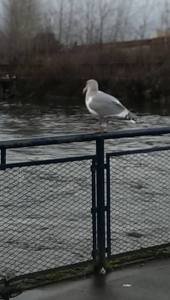 "Copyright ©Jane H. Johann, 2016 ""Seagull on Whatcom Creek"""