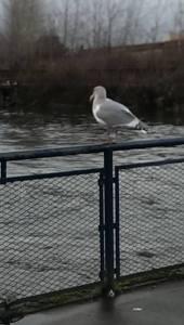 "Copyright ©Jane H. Johann, 2016 ""Seagull on Whatcom Creek"""
